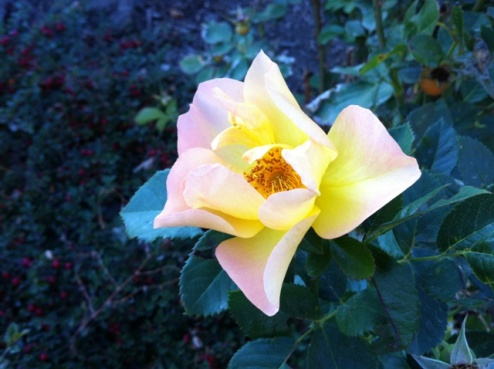 Yellow Rose-Fall 2012