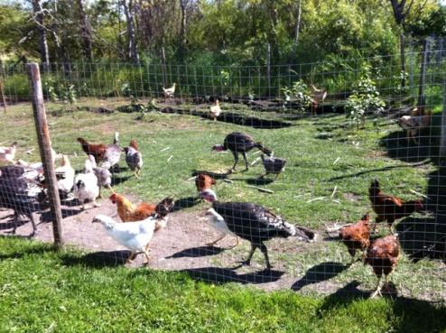 Chickens & Turkeys