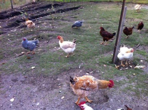 Chickens Running